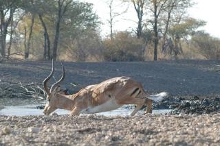 impala_jumping_string_2