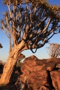 Quiver Tree Forest Namibie